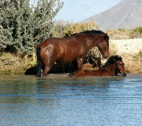Wild Mustangs-bath time by Susie Hadland.
