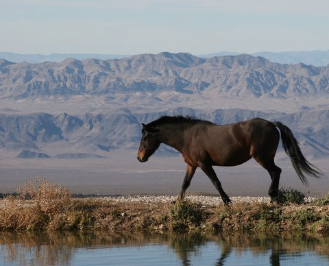 Mustang Stallion with Sheep Mountain in background by Susie Hadland