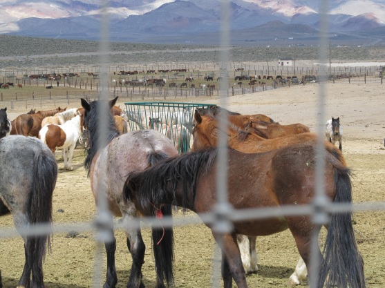 Wild horses being warehoused at Palomino Valley near Reno. (Photo by Jo Mitchell)